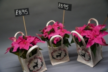 Pink Poinsettia gift